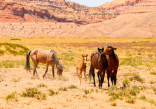 Wild and Free. A herd of wild or feral horses including a foal in Monument Valley. Two of them are squabbling with one another Stock Images