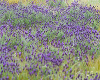 Wild French Lavender in a Spanish field Royalty Free Stock Photos