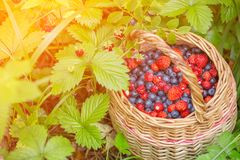 Wild fresh berries blueberry and strawberry in a basket in sunlight in nature. Wild fresh berries blueberry and strawberry in a basket in sunlight on forest Stock Photos