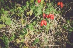 Wild fresh eglantine bush with red fruits. Rose hip. Dog rose. Briar. Sweetbrier - vintage Stock Images