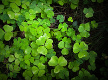 Wild fresh green clover background Royalty Free Stock Photography