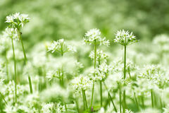 Wild fresh and ripe ramsons. In forest in spring time selective focus Royalty Free Stock Images