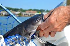 Wild freshwater catfish Stock Photo