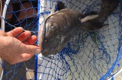 Wild freshwater catfish Stock Photos