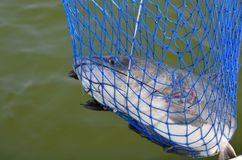 Wild freshwater catfish Stock Image
