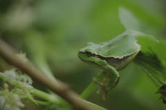 Wild frog Hyla arborea stock photo