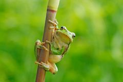 Wild Frog On Meadow Near The River, Habitat. European Tree Frog, Hyla Arborea, Sitting On Grass Straw With Clear Green Background. Royalty Free Stock Image