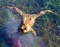 Wild frog in pond. Wild frog in shallow pond royalty free stock photos