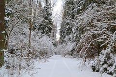 Winter trip: wild frosty forest landscape. Cold season. Pine branch. Russian winter. Belarus landscape royalty free stock photo