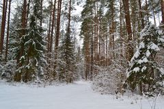 Wild frosty forest landscape. Pine branch. Russian winter. Belarus landscape royalty free stock photography