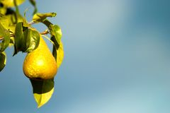Wild fruit. Wild friut after big rain in sunny day stock photography