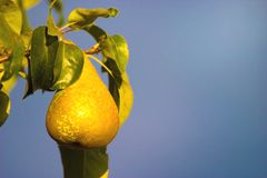 Wild fruit. Wild friut after big rain in sunny day royalty free stock photos