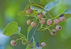 Wild fruit stock foto