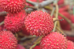 Wild fruit from forest, wild lychee Stock Photo