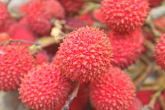 Wild fruit from forest, wild lychee Stock Image