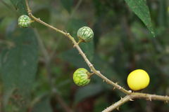 Wild fruit. The natural growth, not the artificial cultivation of fruit Stock Images