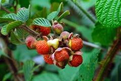 Wild fruits Stock Photo
