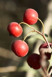 Wild fruits Royalty Free Stock Images