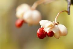 Wild fruits Royalty Free Stock Photos
