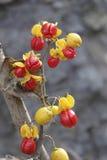 Wild fruits Royalty Free Stock Image