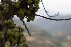 Wild fruits in the mountain top royalty free stock image