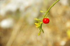 wild frukt Royaltyfri Foto