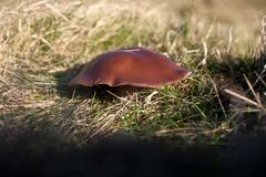 Wild fungus on sunbaked grass. A smooth brown mushroom in a grassy field. tight crop on the fungus and out of focus foreground and background Stock Photography