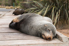 Wild fur seal sleeps on wooden pathway Royalty Free Stock Photography