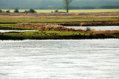 Wild gäss vid floden arkivbilder