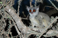 Wild Galago (Bush Baby) in the dark. Bush baby in the dark a national park in Tanzania - Africa Stock Photos
