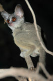Wild Galago (Bush Baby) in the dark. Bush baby in the dark a national park in Tanzania - Africa Royalty Free Stock Photos