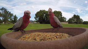 Wild Galah Parrots eolophus roseicapilla coming for a feed. Galah Parrots are also known as pink and grey cockatoo, galah cockatoo, roseate cockatoo or rose stock footage