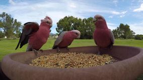 Wild Galah Parrots eolophus roseicapilla coming for a feed. Galah Parrots are also known as pink and grey cockatoo, galah cockatoo, roseate cockatoo or rose stock video