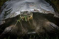 A wild Galapagos giant tortoise eating grasses. A wild Galapagos giant tortoiseChelonoidis porteri eating grasses in the highlands of Santa Cruz Island in the stock photos