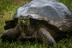 A wild Galapagos giant tortoise eating grasses. A wild Galapagos giant tortoiseChelonoidis porteri eating grasses in the highlands of Santa Cruz Island in the royalty free stock photography