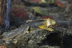 Wild Galapagos Land Iguana Basking on Volcanic Roc. A black and yellow wild Galapagos Land Iguana basks on a volcanic rock absorbing heat from it as well as from Stock Photo