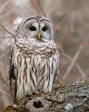 wild gallerförsedd owl royaltyfri fotografi