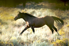 Wild Galloping Horse. Beautiful Brown Horse Running in the Wild Royalty Free Stock Photo