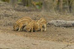 1 wild galtscrofasus Royaltyfri Bild