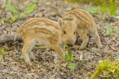 1 wild galtscrofasus Arkivfoto