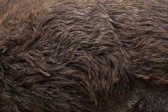 wild galtscrofasus seamless tileable hudtextur Arkivbild