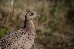 Wild game bird, female pheasant (phasianus colchicus) 1 Stock Photos