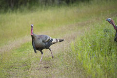 Wild game turkey. Wild turkeys cross a path Royalty Free Stock Photos