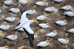 Wild gannet colony at the coast of Muriwai in New Zealand royalty free stock photography