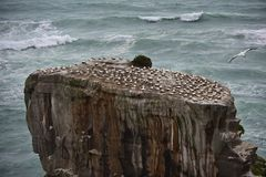 Wild gannet colony at the coast of Muriwai. New Zealand royalty free stock photo
