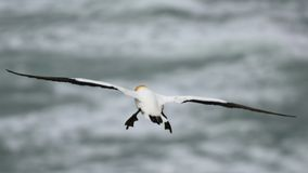 Wild gannet flying at the coast of Muriwai stock photo