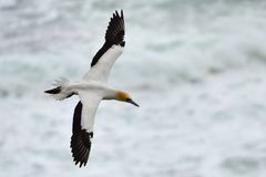 Wild gannet flying at the coast of Muriwai in New Zealand stock image