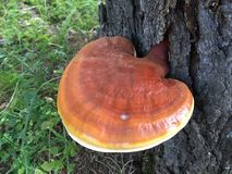 Wild Reishi mushroom, Ganoderma Lucidum from Altai . Wild Ganoderma Lucidum or Reishi from the forest in Altai is very rare medicinal mushroom royalty free stock image