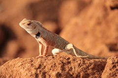 Wild garden lizard Royalty Free Stock Photos