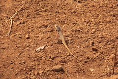 Wild garden lizard on rough ground. Wild agamid lizard with black spot on neck found widely in Asia merged in soil Royalty Free Stock Images